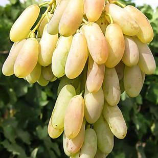 Саженцы Винограда Заграва - средне позднего срока, урожайный, крупноплодный