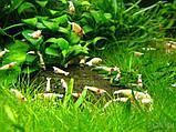 Креветки Crystal Gold Самовывоз м. Дарница - (живут в воде обратный осмос + минералы), фото 2