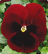 Фиалка Red Blotch Kitano Seeds 100 семян