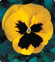 Фиалка Yellow Blotch Kitano Seeds 100 семян