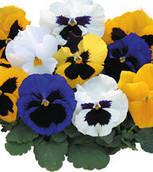 Фиалка Formula Mix Kitano Seeds 500 семян