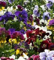 Фиалка Blotch Mix Kitano Seeds 100 семян