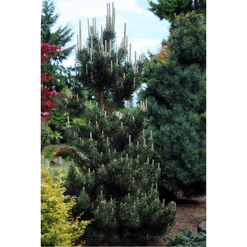 Pinus thunbergii Kotobuki