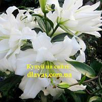 Лілія МАХРОВА  ОТ- гибрид БІЛІ ОЧІ( White Eyes), фото 1