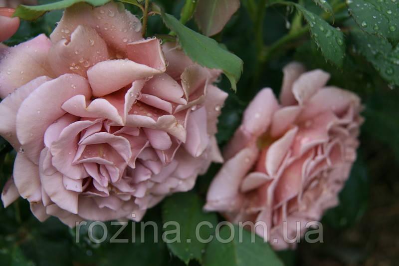 """Саджанці троянди """"Коко Локо"""""""