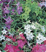 Табак Formula Mix Kitano Seeds 250 семян драже