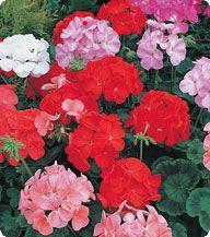 Пеларгония Formula Mixed Kitano Seeds 100 семян