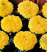 Бархатцы Чикаго Голд (Gold) Kitano Seeds 500 семян