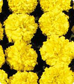 Бархатцы Чикаго Еллоу (Yellow) Kitano Seeds 500 семян