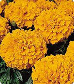 Бархатцы Чикаго Оранж (Orange) Kitano Seeds 500 семян