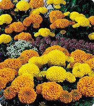 Бархатцы Чикаго Формула Микс (Formula Mix) Kitano Seeds 500 семян