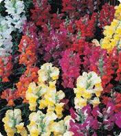 Львиный зев Парадиз Микс (Mix) Kitano Seeds 250 семян