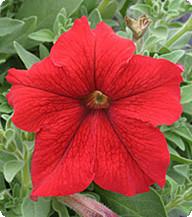 Петуния Виртуоз Ред (Red) Kitano Seeds 1000 драже