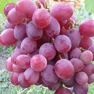 Саджанці Винограду Анюта - середньо-пізднього строку, великоплідний, морозостійкий