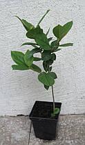 Екзохорда крупноквіткова Меджікал Спрінгтайм \ Exochorda macrantha 'Magical Springtime' (саджанці), фото 3