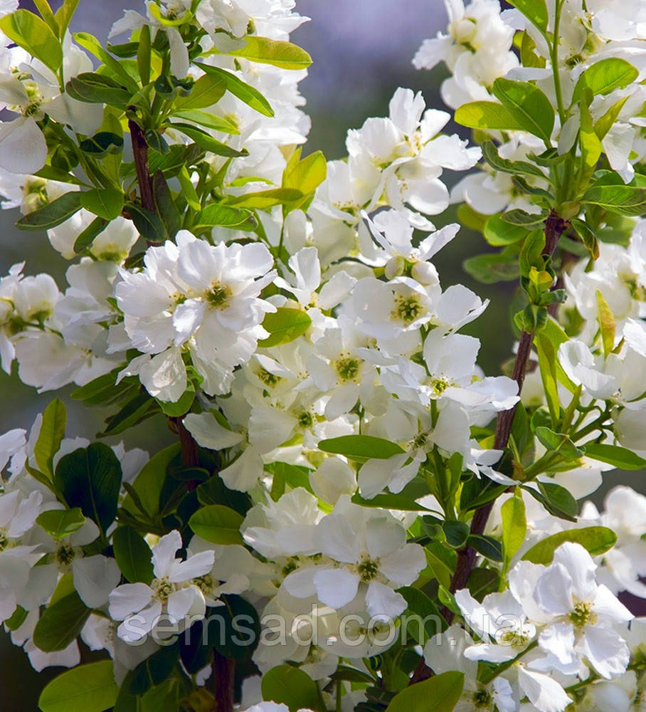 Екзохорда крупноквіткова Меджікал Спрінгтайм \ Exochorda macrantha 'Magical Springtime' (саджанці)