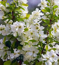 Экзохорда крупноцветковая Мэджикал Спрингтайм \  Exochorda macrantha 'Magical Springtime' ( саженцы )