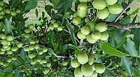 Грецкий орех Кочерженко, однолетний