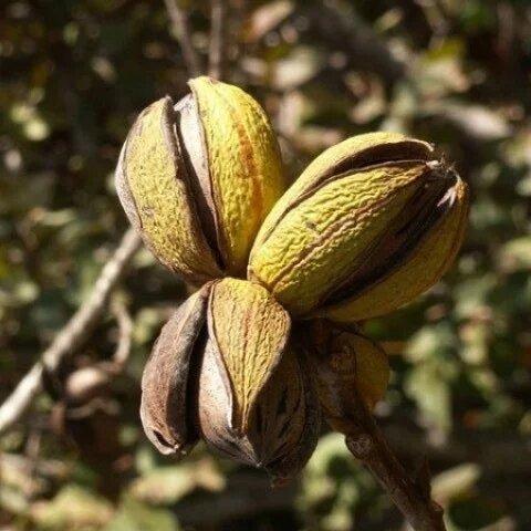Саженцы ореха Пекан Weihita