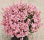 Диаския Діамант F1, лавандово-рожева, 50 шт Садиба Центр, фото 3