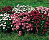 Маргаритка Помпон, смесь 0,05 г Садиба Центр, фото 3