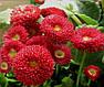 Маргаритка (Стократка) Бал Роз, красная, 0,1 г Садыба Центр, фото 3