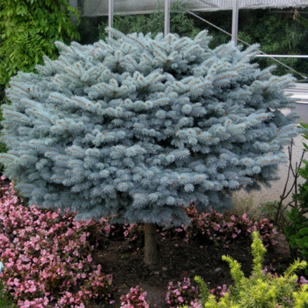 Picea pungens Glauca Globosa and Picea abies Frohburg