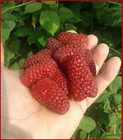 Саженцы малины Пшехиба - ультраранний сорт. Крупная ягода 15г