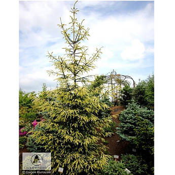 Picea abies Finedonensis
