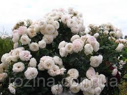 """Саджанці троянди """"Артеміс"""""""