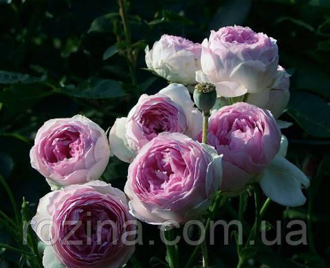 """Саджанці троянди """"Везалиус"""""""