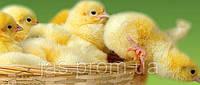 Инкубатор - ясли 2в1 автоматический 130 яиц Курочка Ряба Омега