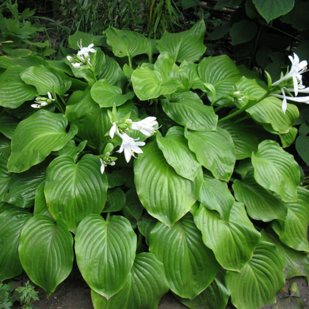 Хоста подорожниковая (Hosta plantaginea)