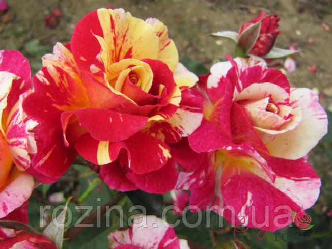"""Саджанці троянди """"Мауріс Утрілло"""""""