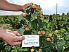 Саженцы малины Утренняя Роса (Poranna Rosa), 2 сорт
