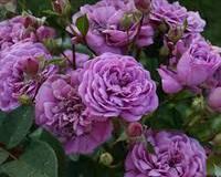 Троянда паркова Blue Boy (Блу Бой) (Modern Shrub)