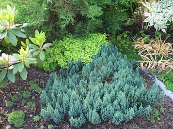Можжевельник горизонтальный  Blue Forest (Горшок С 3. D 30 см.)
