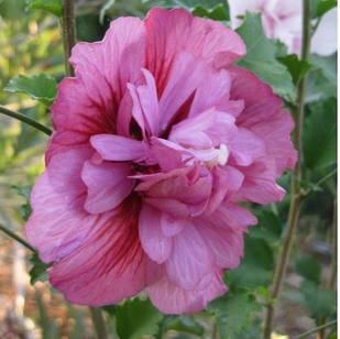 Саджанці Гібіскуса сирійського махрового Фрідом (Hibiscus syriacus Freedom)