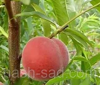 Саженцы персика Мостыский сверхранний ( Украина )