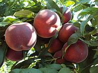 Саженцы персика Харбингер ( Канада )
