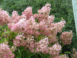 Гортензія волотиста Pink Lady 2 річна, Гортензия метельчатая Пинк Леди, Hydrangea paniculata Pink Lady, фото 3
