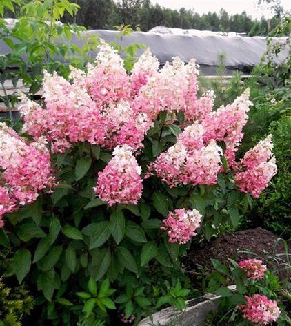Гортензія волотиста Pink Lady 2 річна, Гортензия метельчатая Пинк Леди, Hydrangea paniculata Pink Lady, фото 2