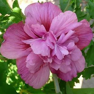 Саженцы Гибискуса сирийского Люси (Hibiscus syriacus Lucy)