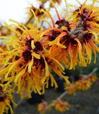 Гамамелис cредний Orange Beauty (Горшок С3 Н 20-30 см)