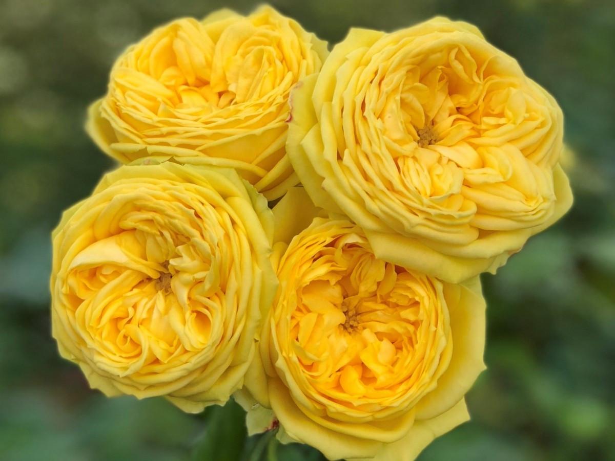Роза Каталина (Catalina) Спрей