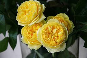 Роза Каталина (Catalina) Спрей, фото 2
