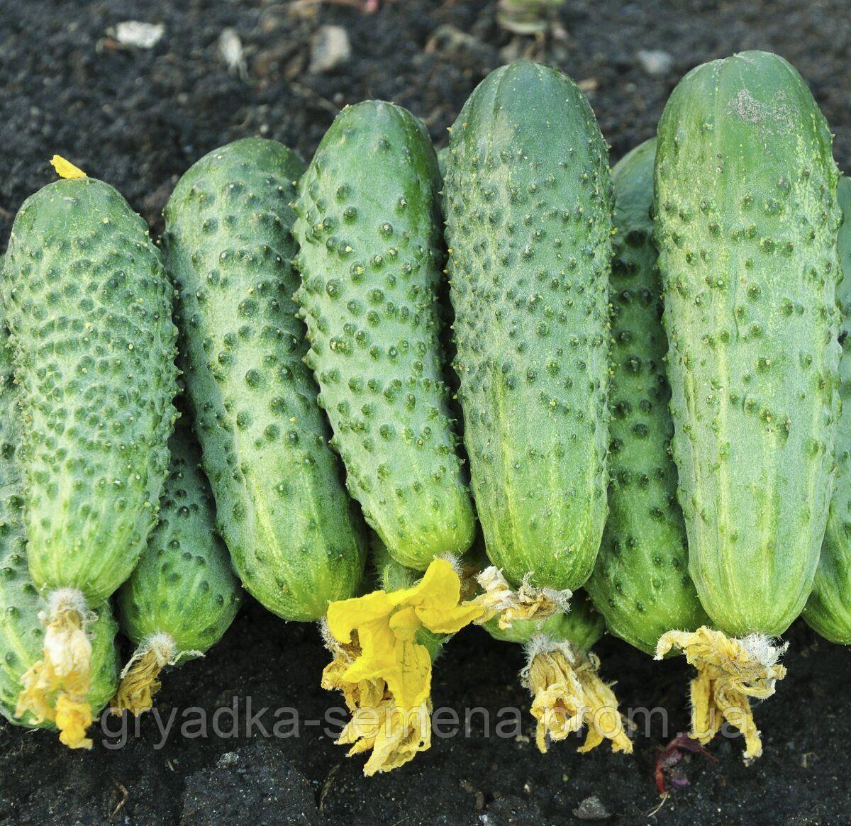 Огурец партенокарпический Авенсис F1 Nongwoo Bio 500 семян