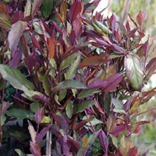 Жимолость пурпурная японская