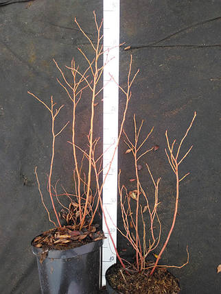 Саженцы голубики Блюкроп 3х-летние, фото 2