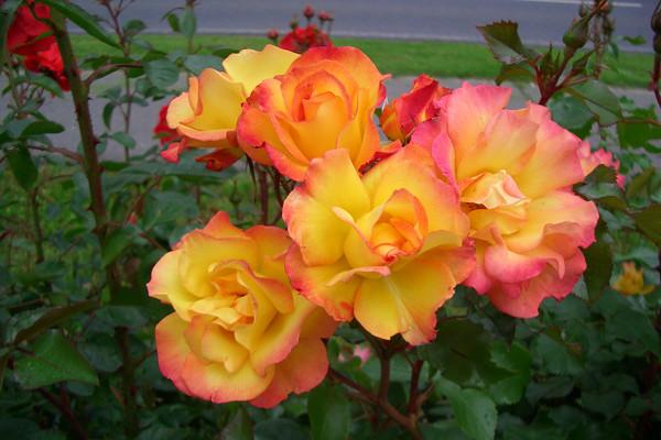 Роза Бонанза (Bonanza) Шраб